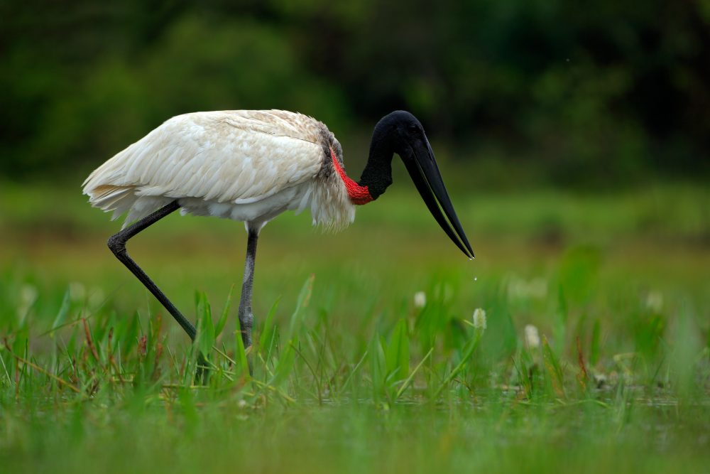 One of the many wader birds of the Pantanal.