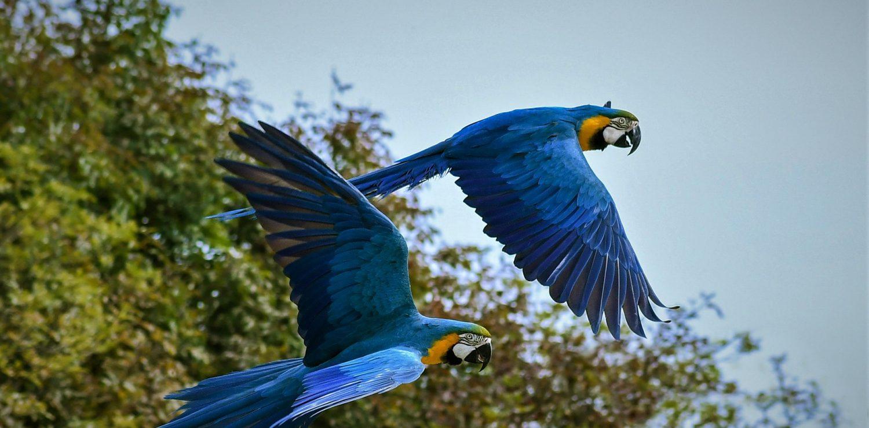 Amzon rainforest Tours - Two blue parrots flying through the rainforest.