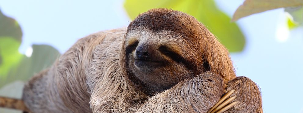 A sloth relaxing in a tree in the Amazon.