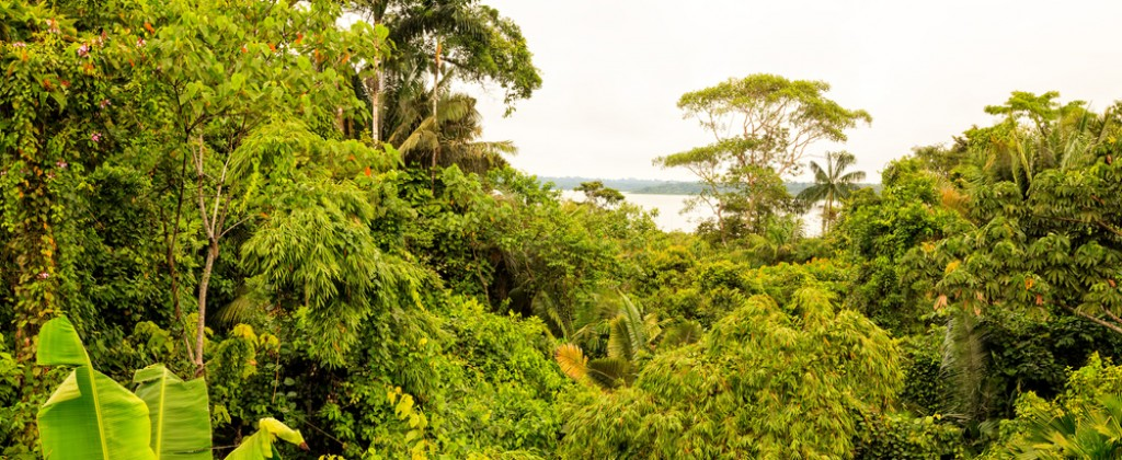 A view of the green canopy of the Amazon rainforest.