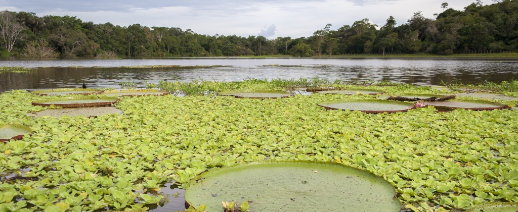One of the giant water lilies on the Amazon river.