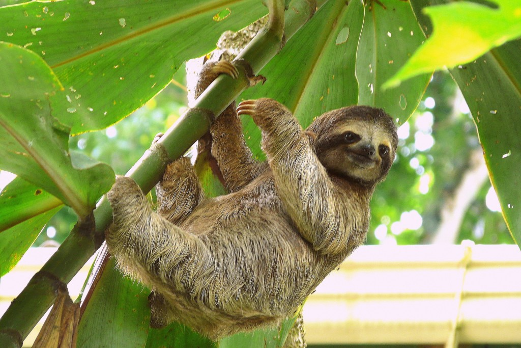 A lazy sloth hangs from a tree in the Amazon.
