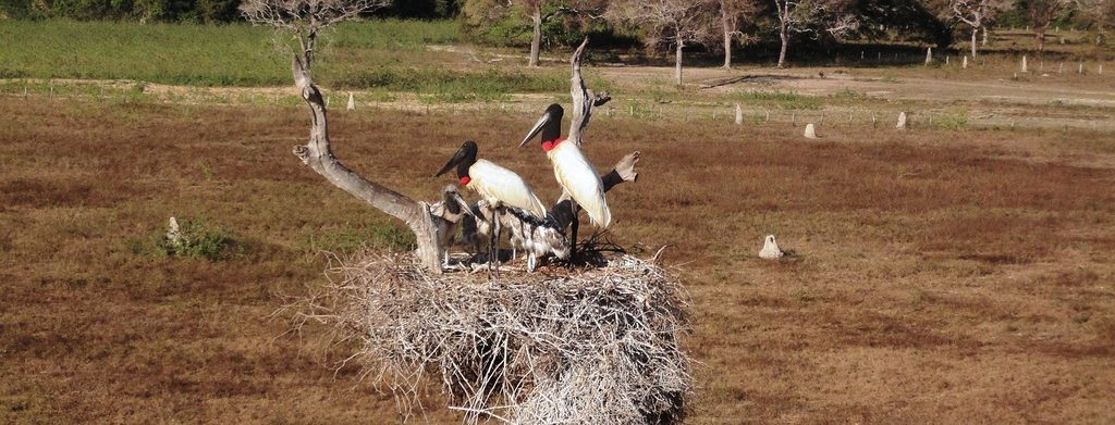 Jabiru or stork of the Pantanal.