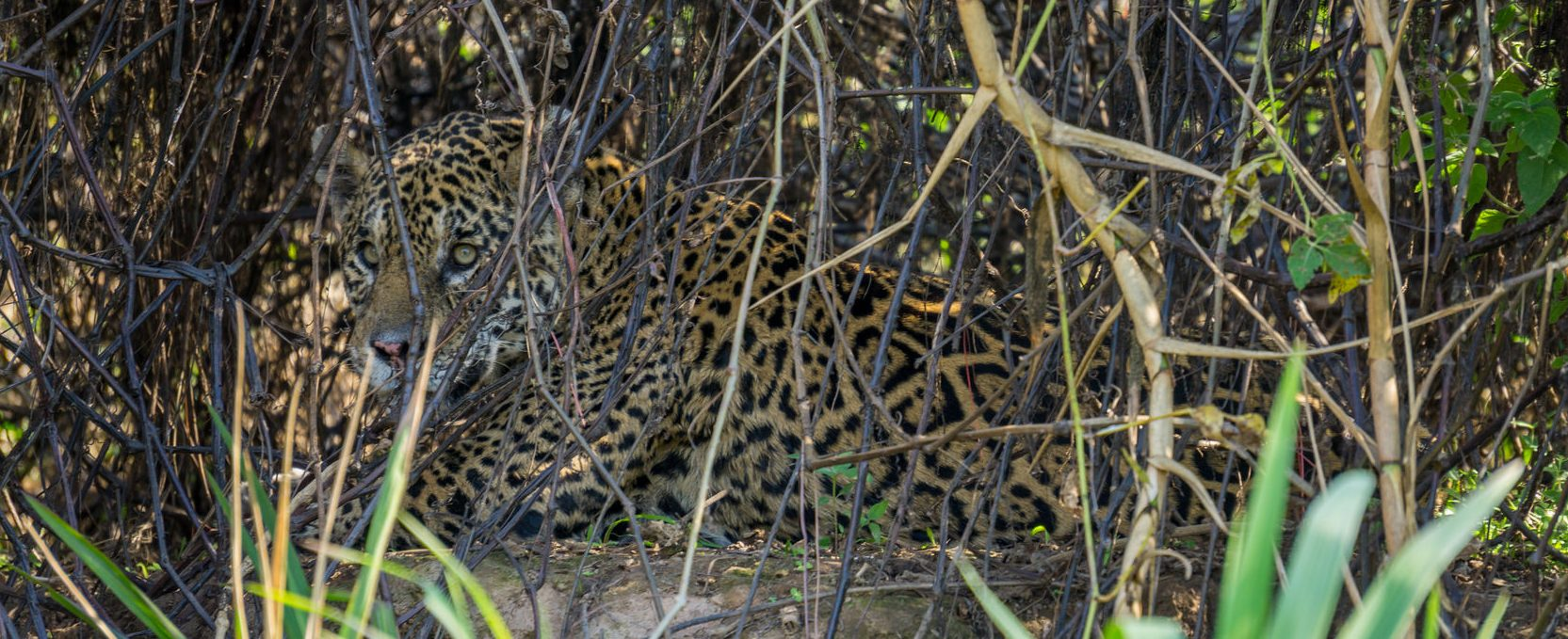 A very well camouflaged jaguar, hard to spot.