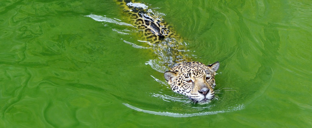 The jaguar, a very strong swimmer.