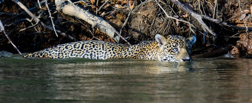 A jaguar swims close to the banks in the Pantanal.
