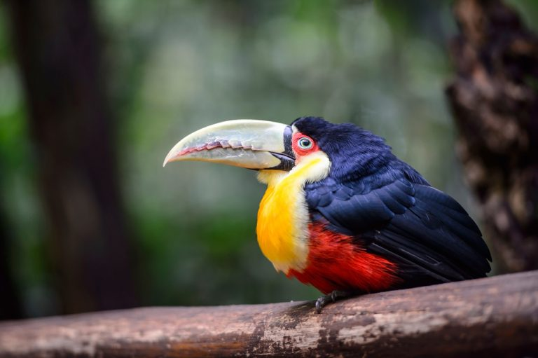 Another one of the curious Amazonian birds.