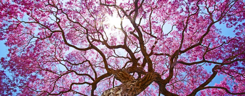 Pink coloured tree in Pantanal.