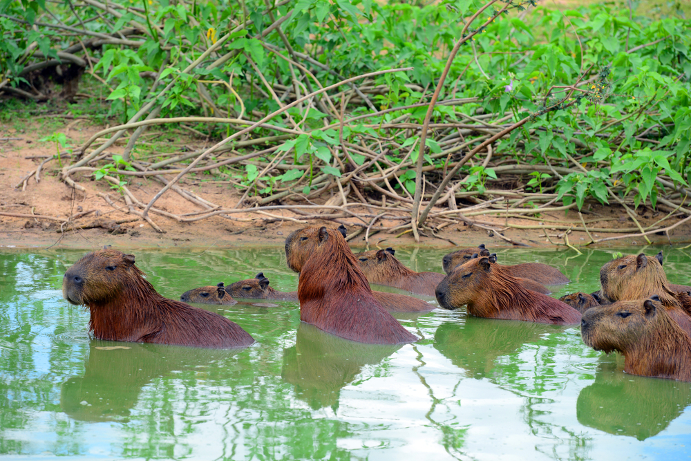 Some of the local Amazonian wildlife, the giant rodent Capybara.