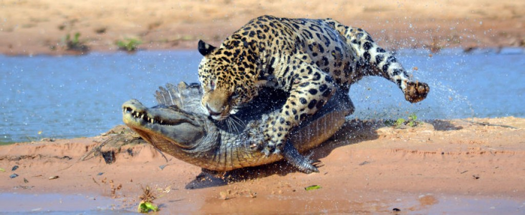 A jaguar takes on an alligator in Pantanal.