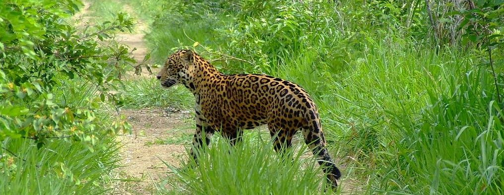 A jaguar in its natural habitat in the Pantanal.
