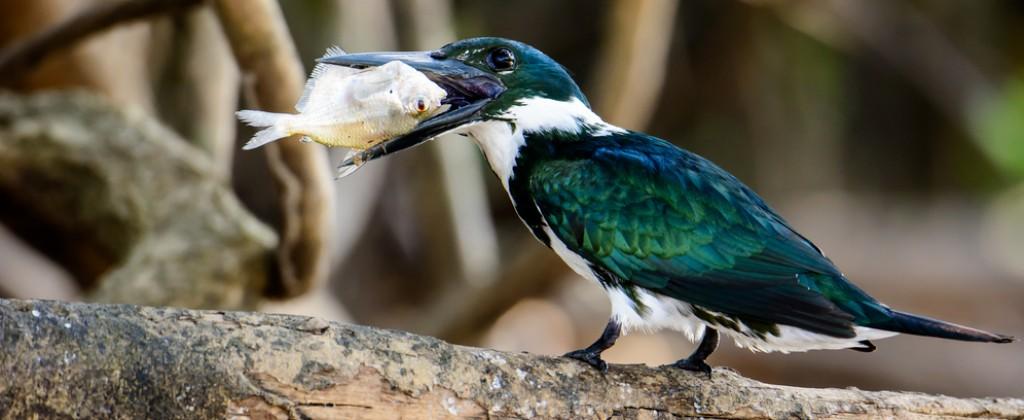Bird eats fish in Pantanal.