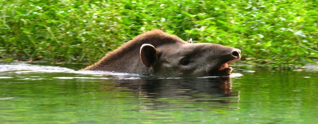 A tapir swimming in the Pantanal.