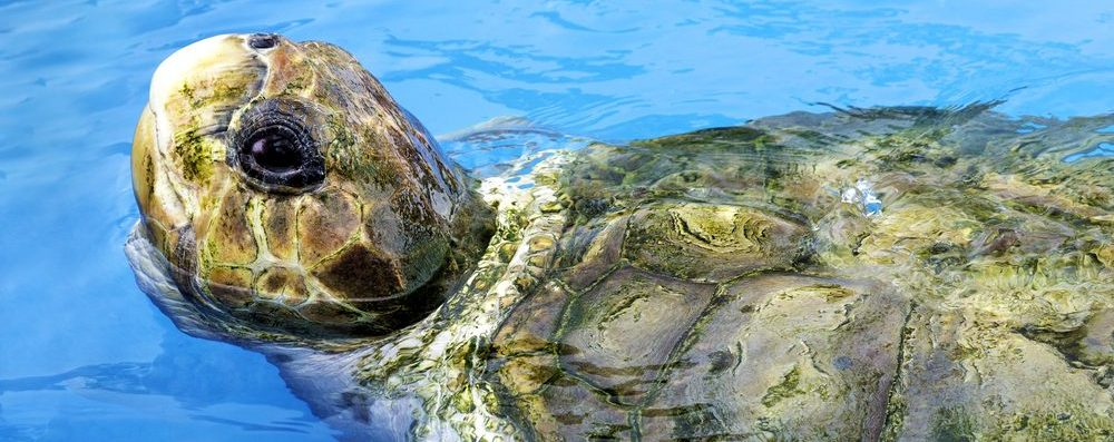A seaturtle pokes his head out of the water.
