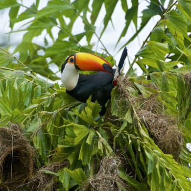 Toucan in a tree in Pantanal.