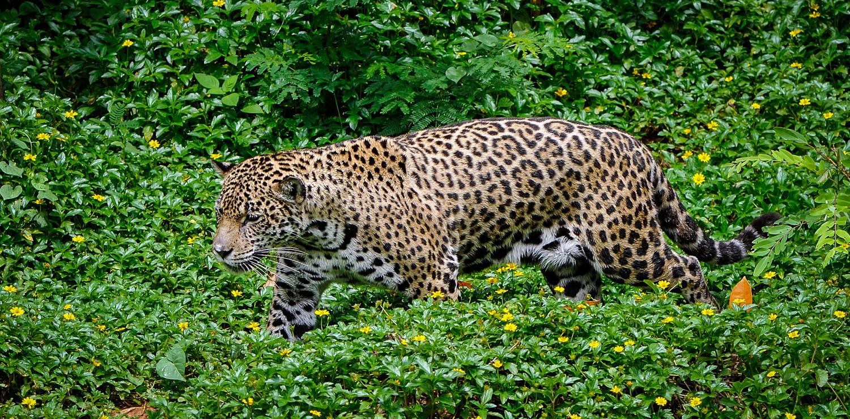 Jaguar at Pantanal