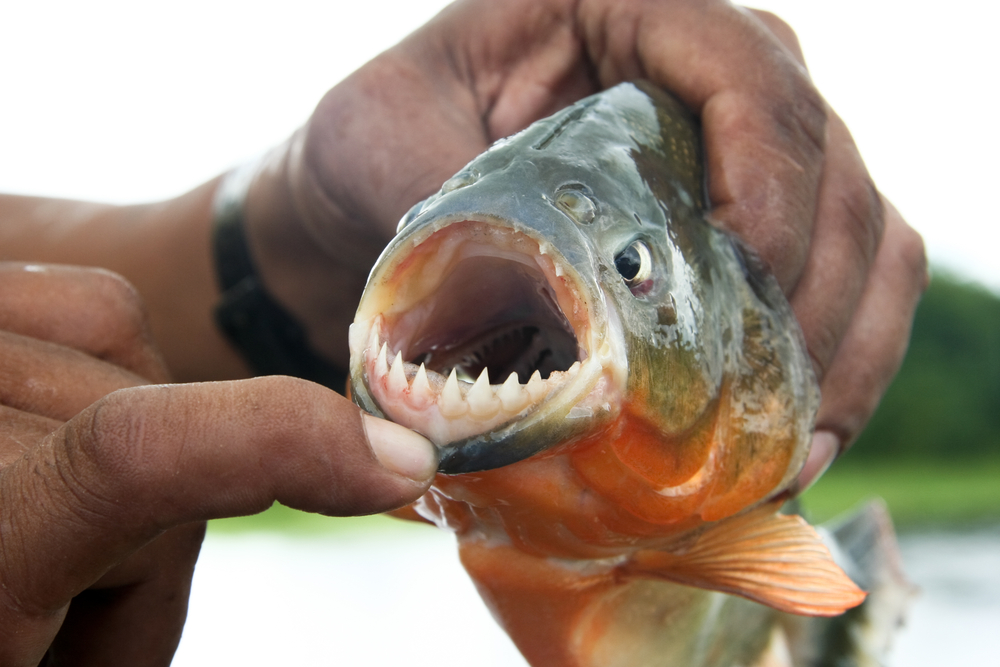 A guide shows the razor - sharp teeth of a piranha!