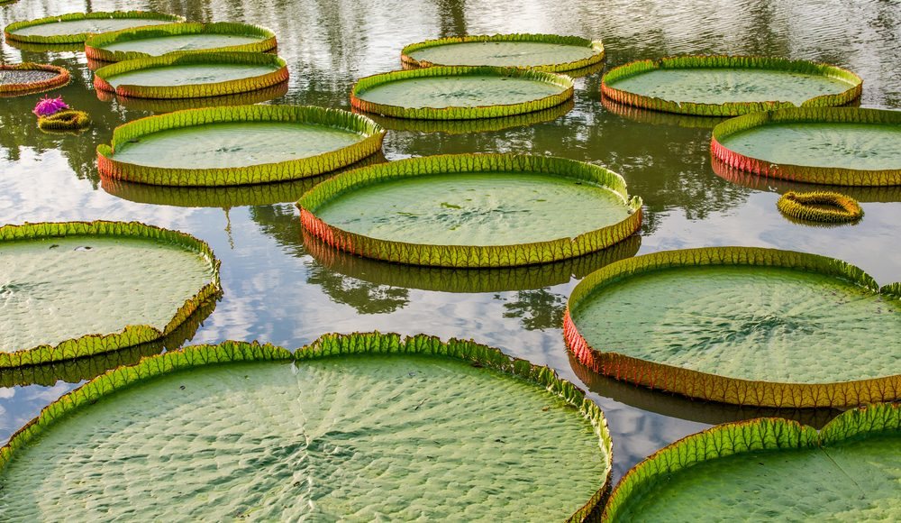 The giant water lilies of the Amazon.