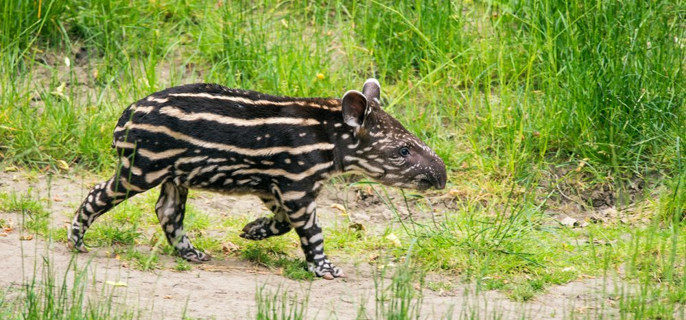 One of the curious mammals of Pantanal.