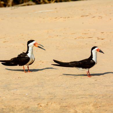 couple d'oiseaux bec pointu Pantanal