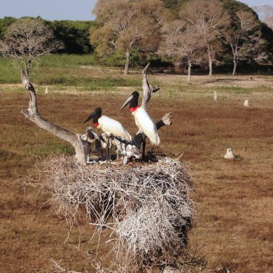 Pantanal - two exotic birds nest in a tree in Pantanal.