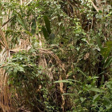 végétation forêt Amazonie