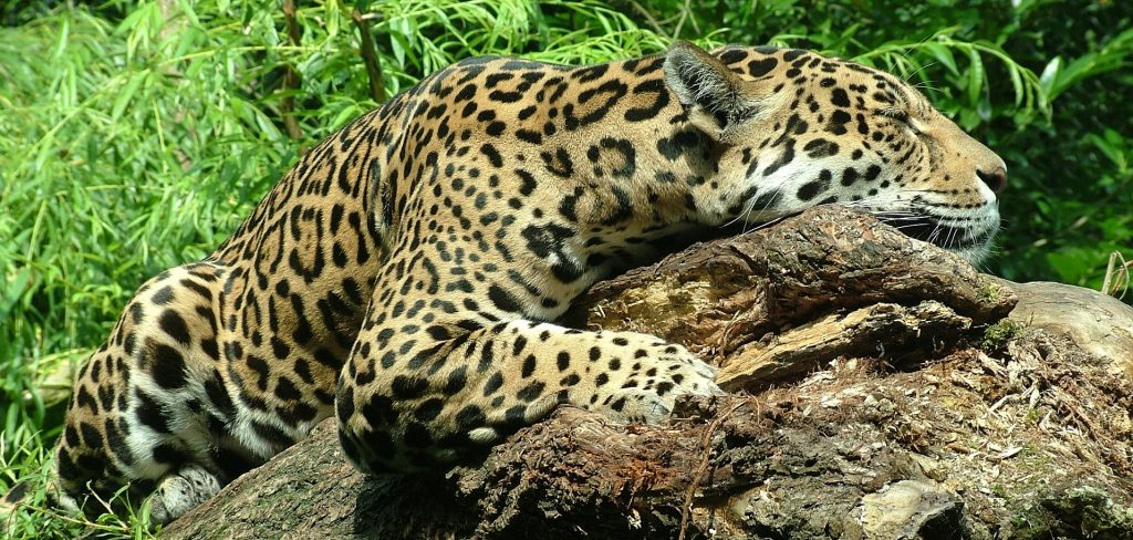 A beautiful jaguar resting on a tree trunk.