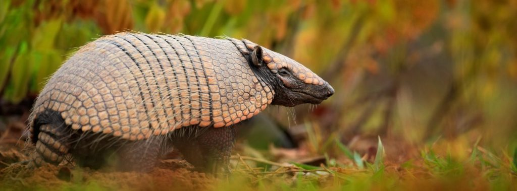 A little Armadillo in Pantanal.