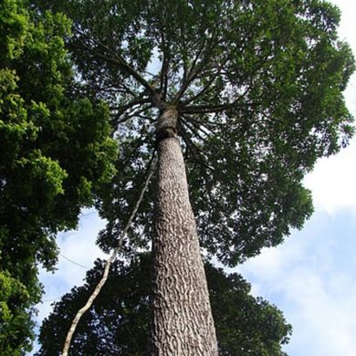 Looking up at the enormous Brazil nut tree.